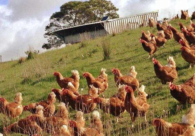 Family Homestead Genuine Free Range Eggs