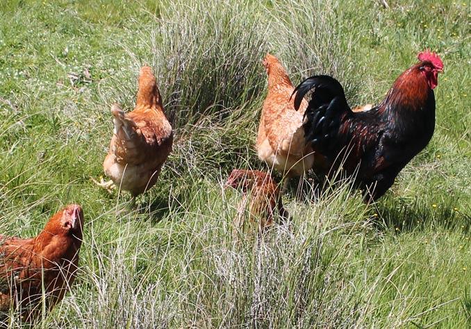 farmer brown eggs