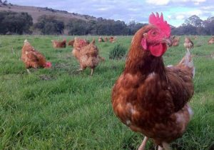 Guildford Grown Pastured Eggs