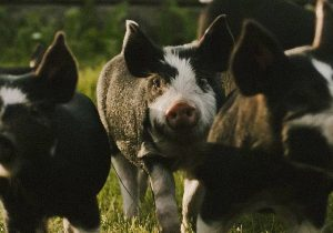 hamlet pork