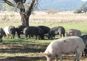 oakleigh pastured pork