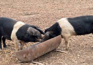 rare breed farm