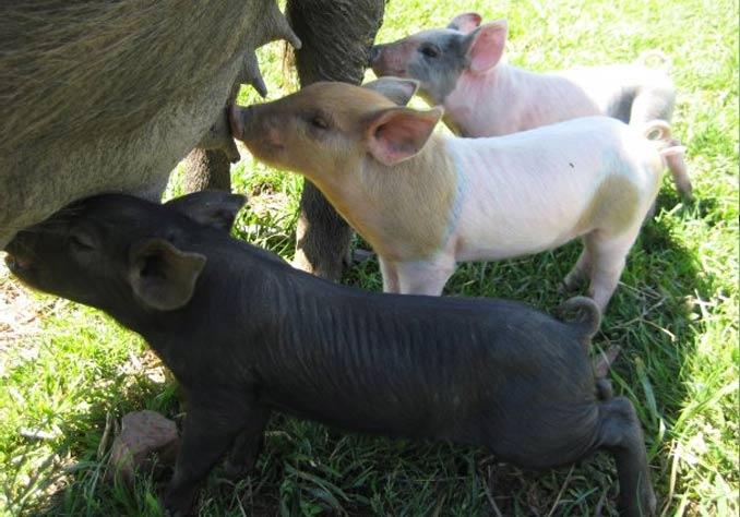 yarra pigs
